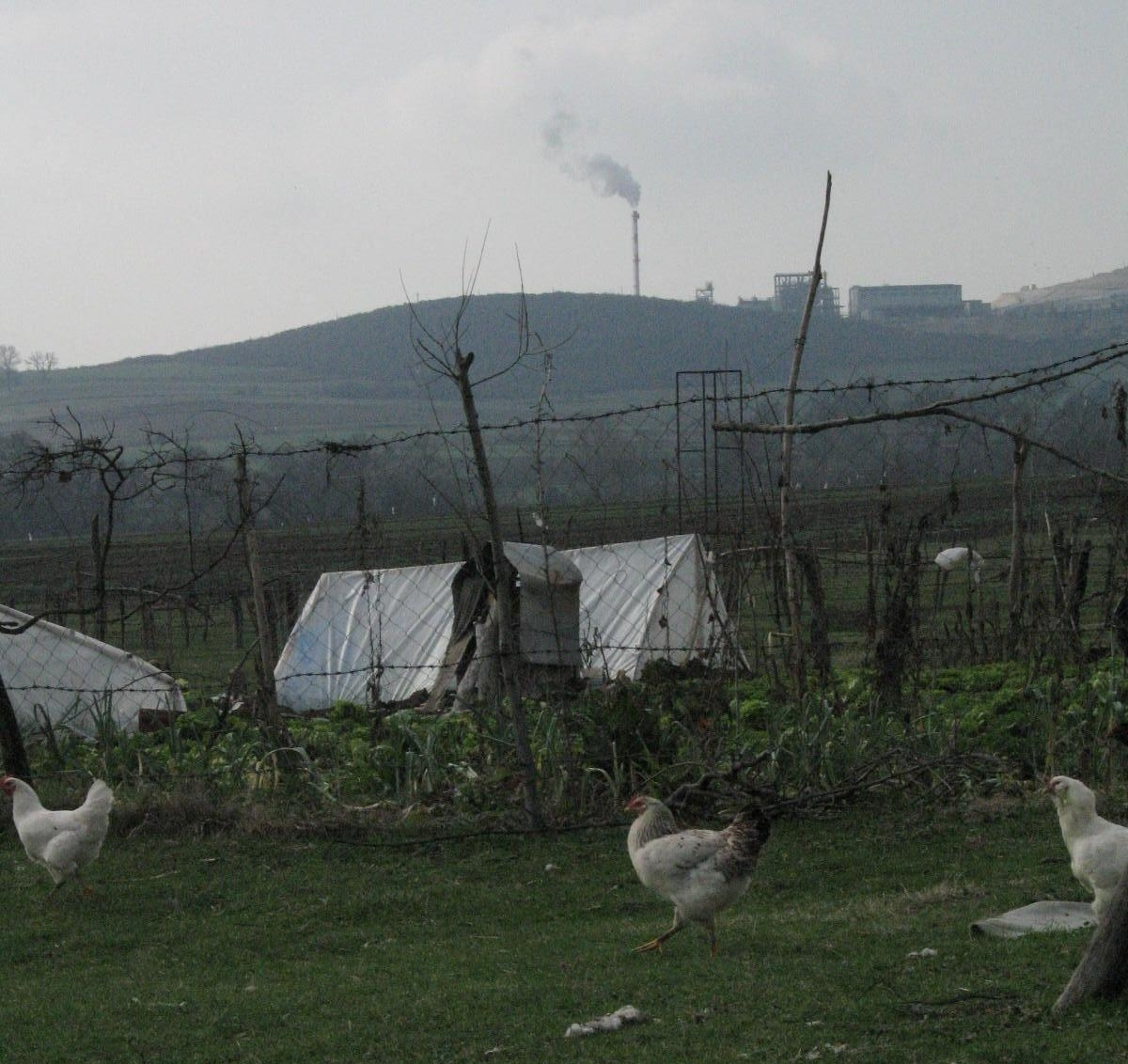 Chickens in Turkey with smokestack in background